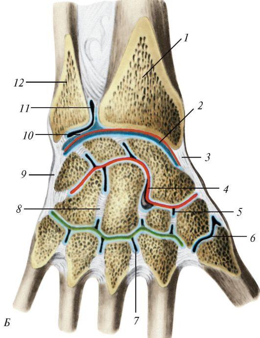 Schema articulațiilor osoase continue. Legătura oaselor umane
